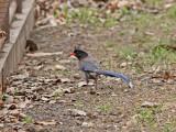 Rödnäbbad blåskata - Red-billed Blue Magpie (Urocissa erythrorhyncha)