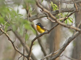 Vitbrynad narcissflugsnappare - Yellow-rumped Flycatcher (Ficedula zanthopygia)