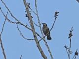 Gråstare - White-cheeked Starling (Sturnus cineraceus)