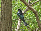 Lyrdrongo - Hair-crested Drongo (Dicrurus-hottentottus)