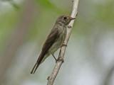 Sibirisk flugsnappare - Dark-sided Flycatcher (Muscicapa sibirica)