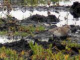 Gulbröstad snäppa - Bairds Sandpiper (Calidris bairdii)