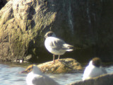 Trädmås - Bonaparte's Gull (Larus philadelphia)