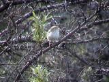 Ökensångare - Desert Warbler (Sylvia nana)