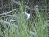 Sotvingad mås - Laughing Gull (Larus atricilla)