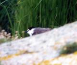 Tygeltärna - Bridled Tern (Sterna anaethetus)