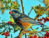 BLUE BIRD EATING BERRIES.jpg