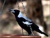 Australian magpie caroling