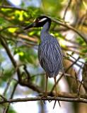 Yelllow-crowned Night-Heron