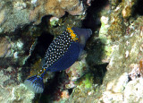 Blue Spots - Male Spotted Boxfish...puffer fish