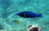 Male Bird Wrasse