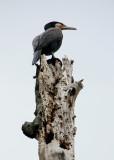 June 9 2010: Cormorant