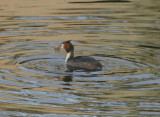 Grebe eating a ?