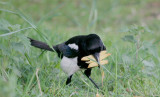 Magpies like chips.