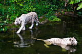 Big White Cats II