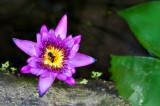 4 Angle Lily