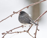One Cold Junco