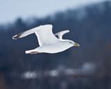 White Gull