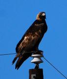 Golden Eagle, SE Colorado USA, Autumn 2008