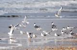 Gulls, Terns Etc. March 08