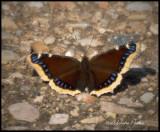 Mourning Cloak, True Brushfoot Butterfly