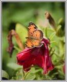 Fritillary Butterfly?
