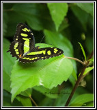 Unknown Butterfly, Dominican Republic