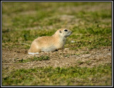 Ground Squirrel(Gopher)