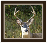 Male White-tailed Deer