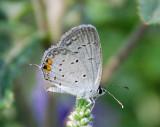 EASTERN-TAILED BLUE (Cupido comyntas)
