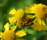 GOLDENROD SOLDIER BEETLE (Chauliognathus Pennsylvanica)