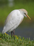 Cattle Egret -  Bulbulcus ibis
