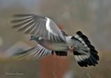 Wood pigeon -Columba palumbus