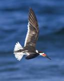 Black Skimmer, Rynchops niger