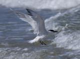 Cabot's tern (Thalasseus sandvicensis acuflavidus)