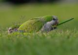Quaker Parrot, (Myiopsitta monachus)