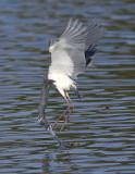 Tri-coloured Heron - Egretta tricolor