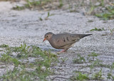 Ground Dove - Columbina passerina
