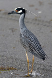 Yellow Crowned Night Heron - Nyctanassa violacea
