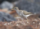 Spotted Sandpiper - Actitis macularia