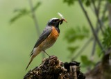 Common Redstart-Phoenicurus phoenicurus