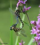 Dragonflies and Damselflies (Odonata)
