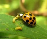 Asian Ladybeetles (Harmonia axyridis)