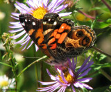 American lady  (Vanessa virginiensis)  underside, on new england aster