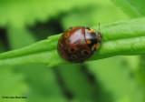 Eye-spotted ladybeetle- (Anatis mali)