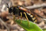 Sawfly ( Abia sp.)