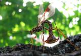 Ichneumonid Wasps (Family: Ichneumonidae)