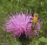 Soldier Beetles  (Family: Cantharidae)