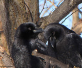 Corvids: Crows, Ravens and Jays