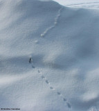 Meadow Vole tracks